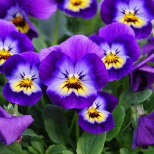 Našlaitės viola
